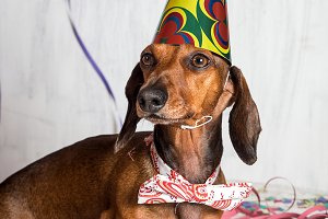 Pet in party hat and bow-tie sitting