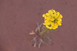 Yellow Flower in Moab // UT