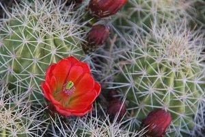 Canyonlands Cactus