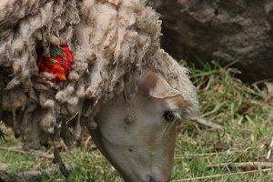 Sheep // PERU