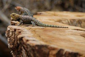 Lizards // AZ