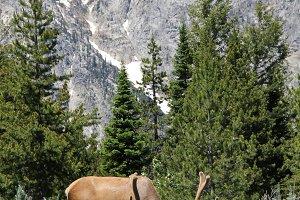 Tetons Elk // WY