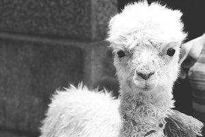 Baby Llama // PERU