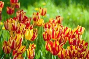 bee collects pollen on tulips, flower-bed with tulips blossoming