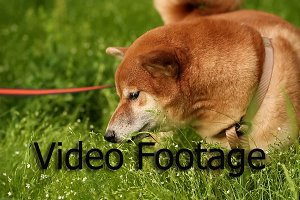 Dog Shiba Inu eat grass