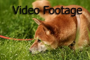Dog Shiba Inu stands on a meadow