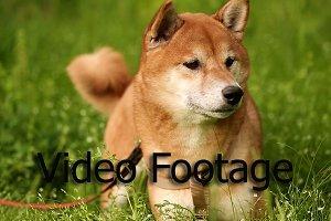 Dog Shiba Inu looks afar