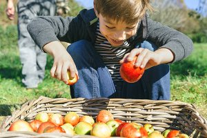 Happy kid putting apples in wicker basket with harvest