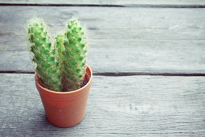 Mini cactus on vintage wooden table