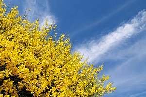 gorse and explosion in the sky