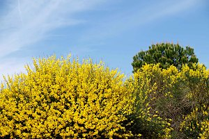 gorse in spring and blue sky