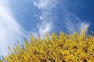 gorse in spring and clouds