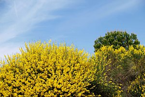 gorse and pine