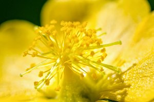 Small yellow pollen on flowers
