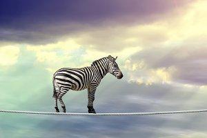 Zebra in sky walking on rope