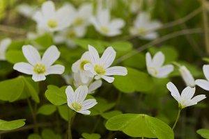 Spring wild flowers, primroses