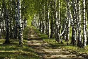 Country road in the birch grove