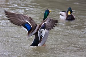 two drakes of mallard on the water