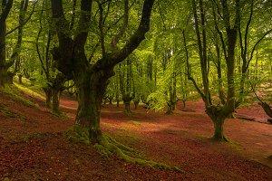 Beautiful beech forest