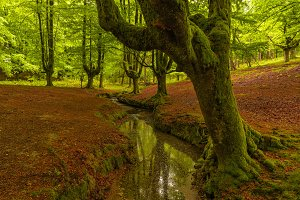 Stream in a beech forest