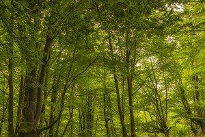 Stream in a b eech forest