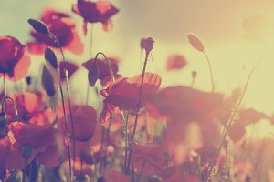 Poppy flowers