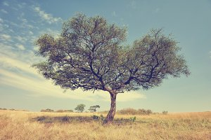 Tree acacia in Africa