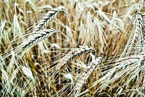 Ladybug on a wheat field