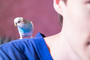 Blue budgie sits on his shoulder
