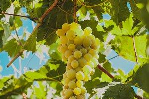 Grapevine on a bush