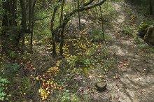 Wild apples on the ground.