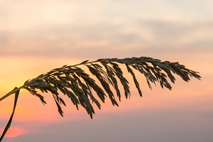 Grass against rising sun