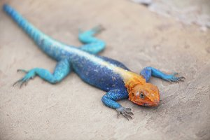 Orange Headed Agama Lizard Kenya