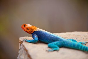 Orange Headed Agama Lizard On A Rock