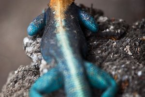 Orange Headed Agama Lizard