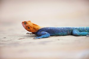 Orange Headed Agama Lizard