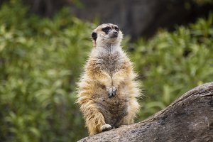 Meerkat over a log of wood