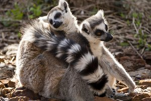 Lemurs cuddled on the floor