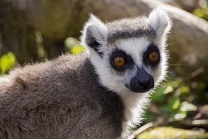 Lemur looking ahead