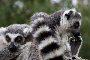 Lemur looks