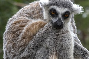 Noting Lemur portrait