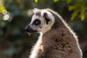 Portrait of Lemur profile