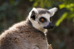 Profile portrait of a lemur
