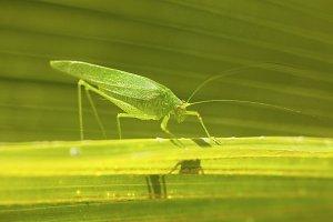Giant Katydid Grasshopper