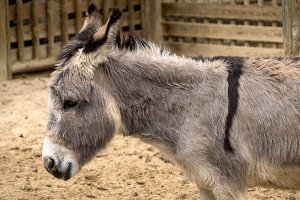 African Donkey profile
