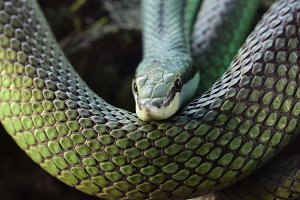 Green Snake Latigo