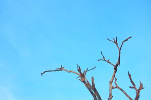 Blue sky and dead tree