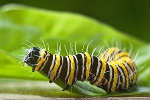 Eastern Black Butterfly Caterpillar