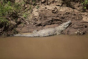 Crocodile In The Mara River