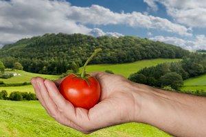 Tomato in hand in rural farm
